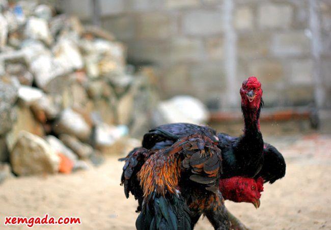 cách chọn gà nòi, cách chọn gà nòi hay, cách chọn gà nòi đá hay, cách chọn gà nòi đá cựa sắt