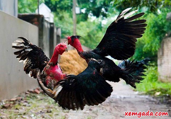 gà nòi, gà nòi việt nam, gà chọi nòi, gà nòi đòn, gà nòi đá cựa sắt