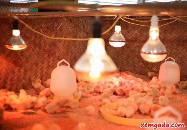 kỹ thuật úm gà con, cách nuôi gà con nhanh lớn, cách úm gà con