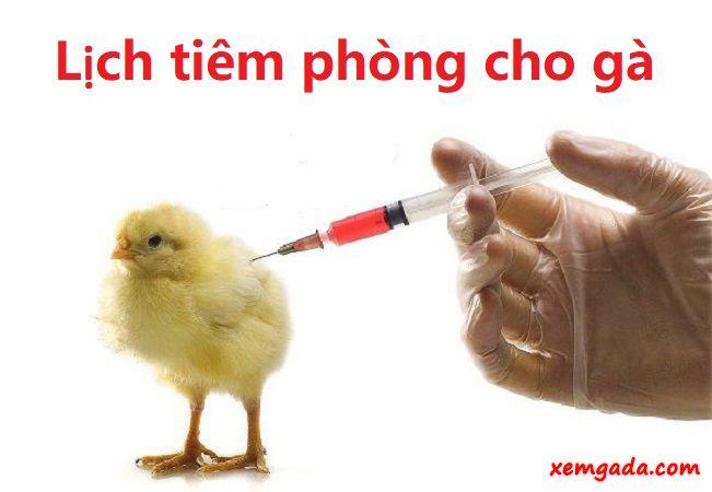 lịch tiêm phòng cho gà, lịch tiêm vacxin cho gà, cách tiêm phòng cho gà, cách tiêm vacxin cho gà, lịch tiêm phòng cho gà con, cách tiêm phòng cho gà thịt, cách tiêm phòng cho gà thả vườn