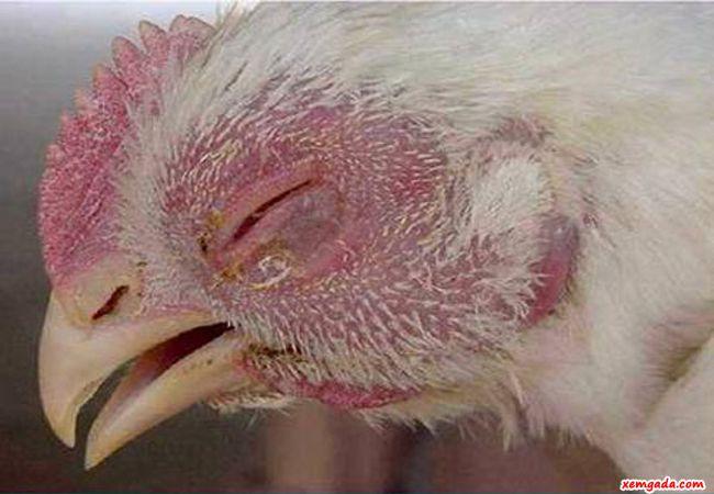 bệnh ecoli ở gà, bệnh ecoli trên gà, thuốc đặc trị ecoli, bệnh ecoli