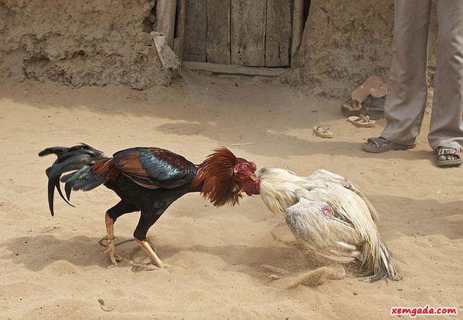 Thuật ngữ trong đá gà, các thuật ngữ trong đá gà