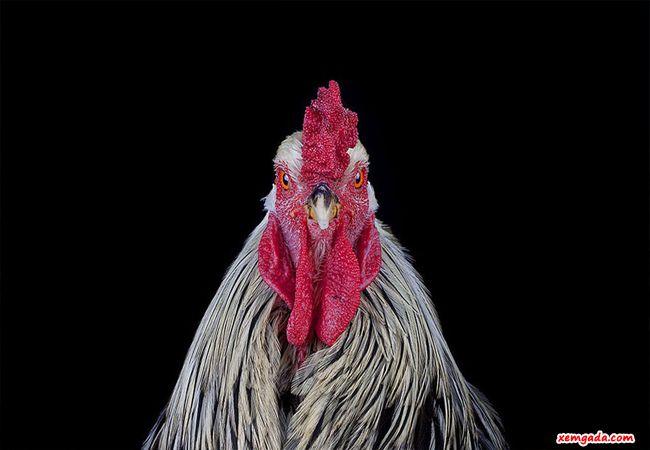 mua gà chọi giống, mua giống gà chọi