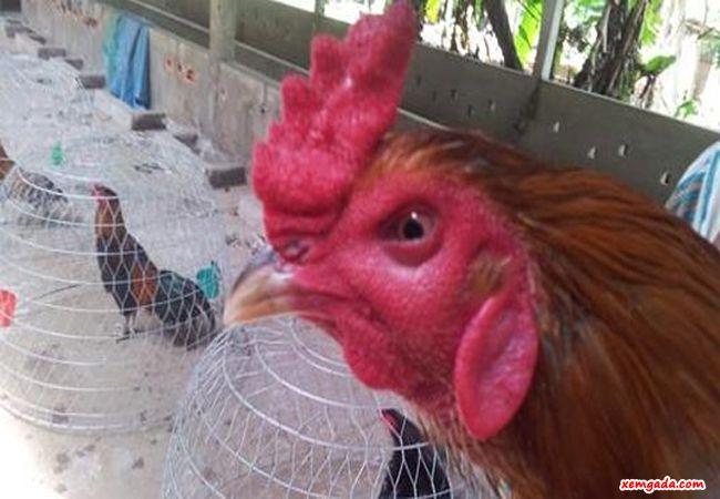 bệnh sưng phù đầu ở gà, gà bị phù đầu, gà bị sưng mặt phù đầu, bệnh phù đầu gà