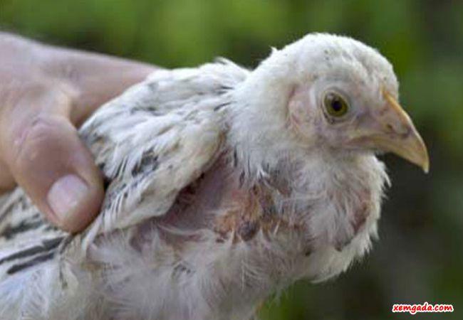 bệnh thương hàn ở gà, bệnh thương hàn gà, salmonella là gì, gà bị bệnh thương hàn