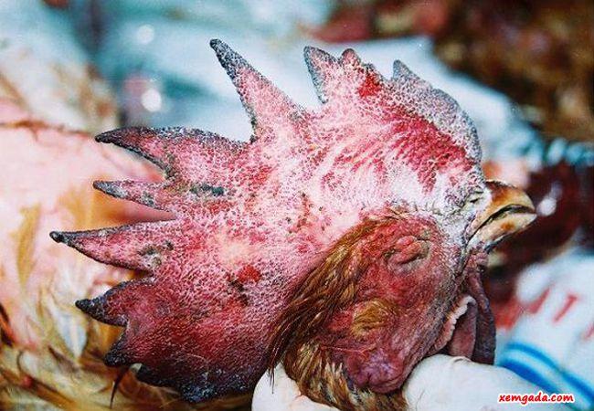 bệnh tụ huyết trùng ở gà, bệnh tụ huyết trùng gà, bệnh tụ huyết trùng, gà bị tụ huyết trùng