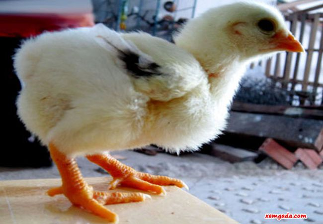 cách chọn gà chọi con, cách chọn gà chọi con tốt, cách chọn gà chọi con hay, cách chọn gà chọi con đẹp, cách chọn gà con trống mái