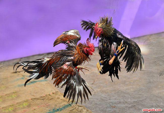 cách nuôi gà chọi chiến, cách nuôi gà chọi, cách nuôi gà đá cựa sắt, cách nuôi gà nòi
