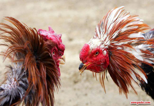 cách nuôi gà đá sung, cách nuôi gà đá sung sức, cách nuôi gà chọi sung sức, cách nuôi gà chọi sung