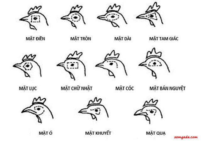 cách xem tướng gà đá, cách xem tướng gà đá hay, xem đuôi gà chọi, lưng gà chọi, mặt gà chọi