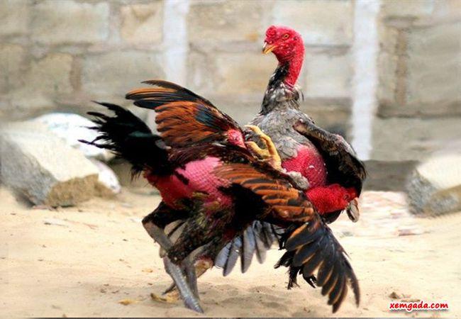 gà chọi bình định, gà chọi bình định dòng tây sơn, gà chọi nòi bình định, gà chọi nòi