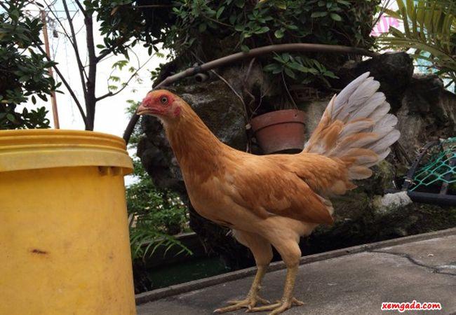gà mái có cựa, gà mái có cựa không, gà mái có cựa tốt hay xấu