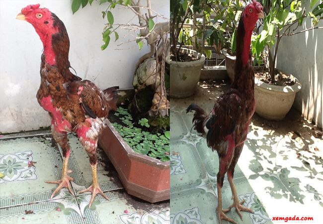 cho gà ăn gì để lông mượt, gà thay lông, cách nuôi gà mau ra lông