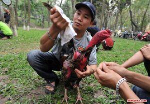 cách làm nước cho gà chọi, cách vào nước cho gà chọi, cách làm nước gà chọi, làm nước cho gà chọi