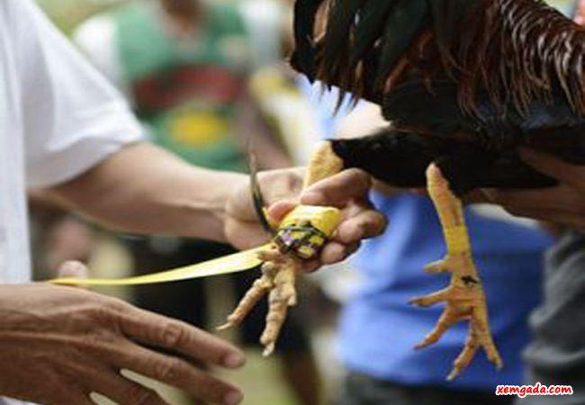 cách lên cựa gà, cách quấn cựa gà, cách quấn cựa gà tre, cách quấn cựa gà phổ biến