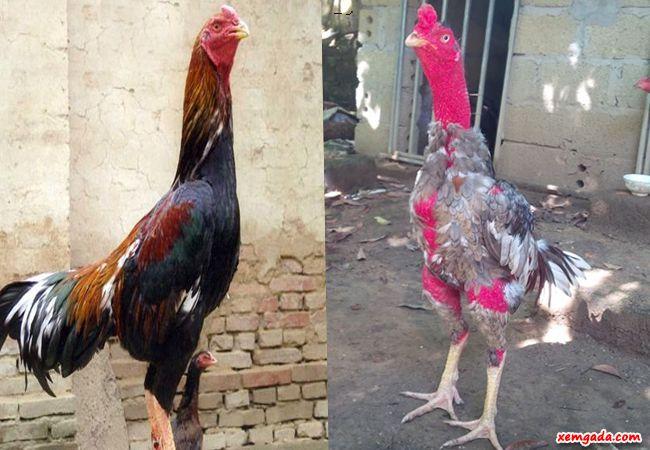 bán gà chọi bình định, mua gà chọi bình định, mua bán gà chọi bình định