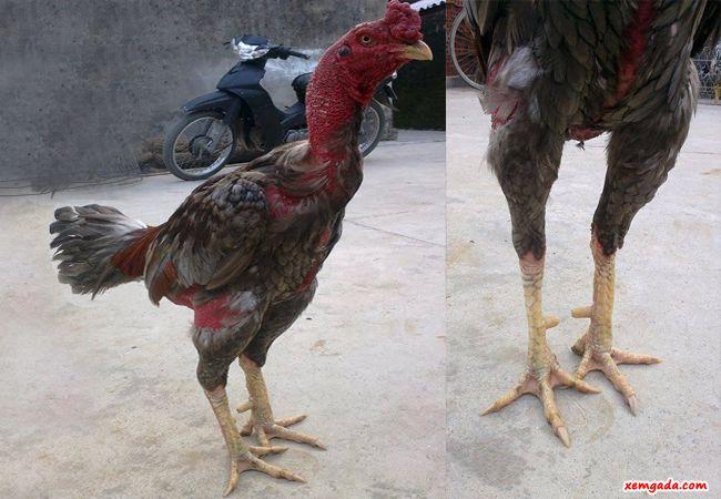 gà chọi đẹp, hình ảnh gà chọi đẹp, gà chọi đẹp nhất việt nam,