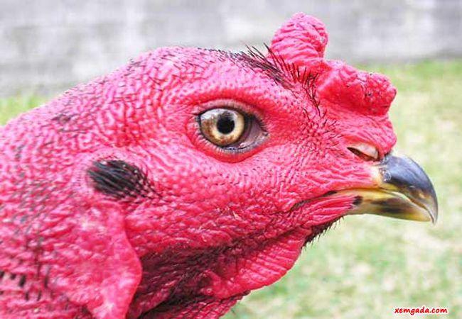 cách xem tướng gà chọi, xem tướng gà chọi, cách xem tướng gà chọi hay, cách xem tướng gà đẹp