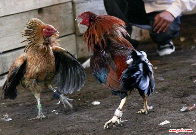 cách nuôi gà đá, cách nuôi gà đá bị tang, cách chăm sóc gà bị cụaư