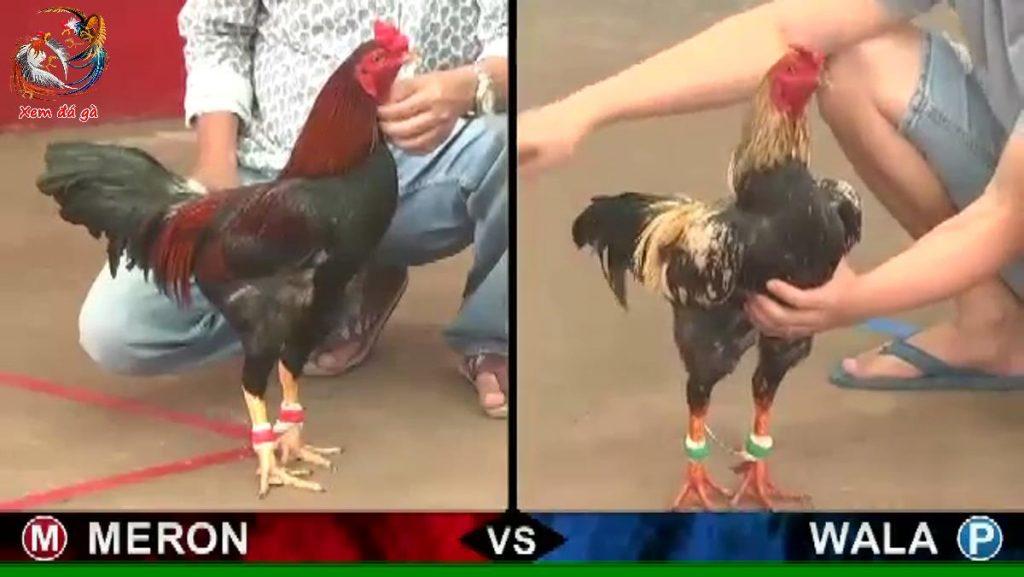 đá gà thomo, đá gà campuchia, cockfighting, chicken fight, trực tiếp đá gà thomo hôm nay