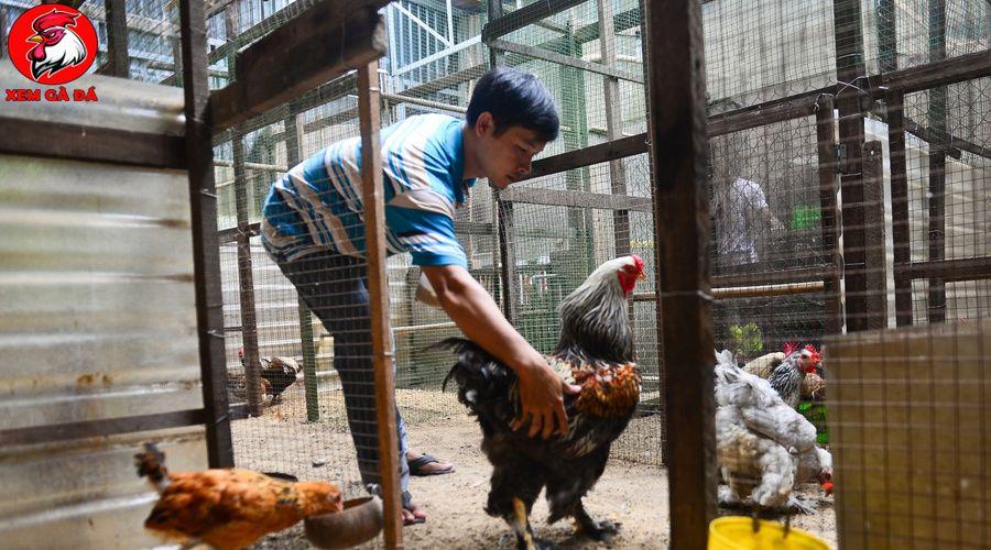 Bán gà Brahma