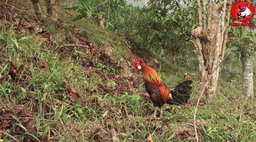 Cách huấn luyện gà rừng mồi