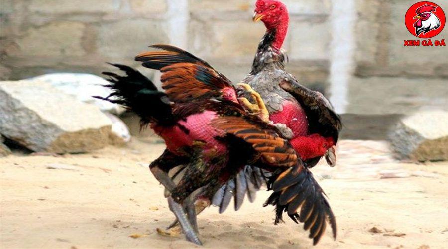 Diễn đàn gà nòi
