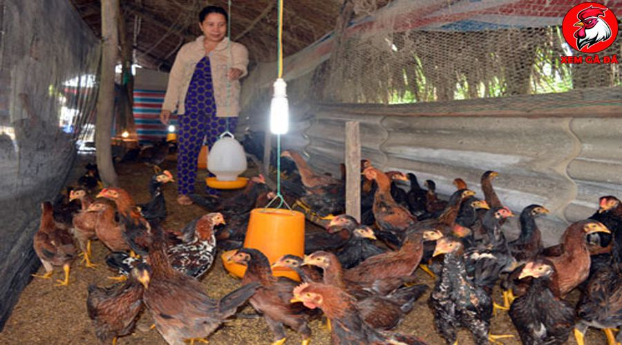 kỹ thuật nuôi gà nòi lai
