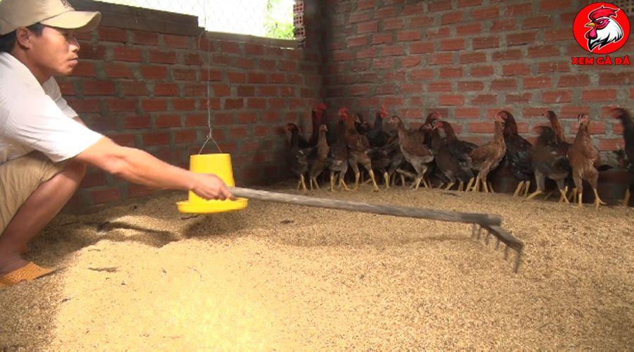Đệm lót sinh học cho gà