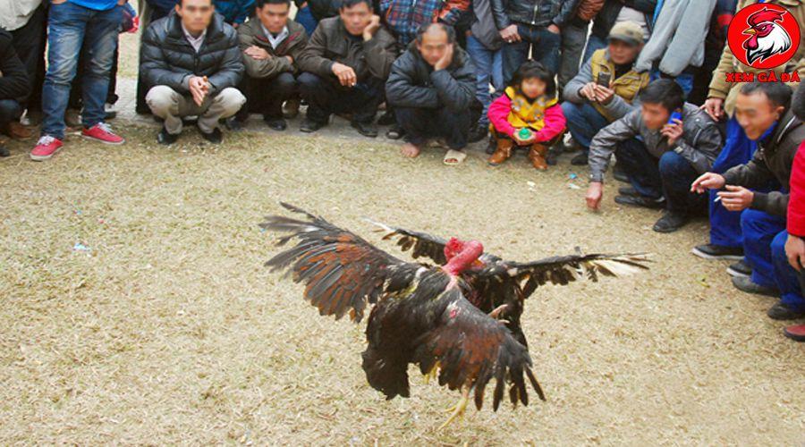 Giống gà Thái Bình